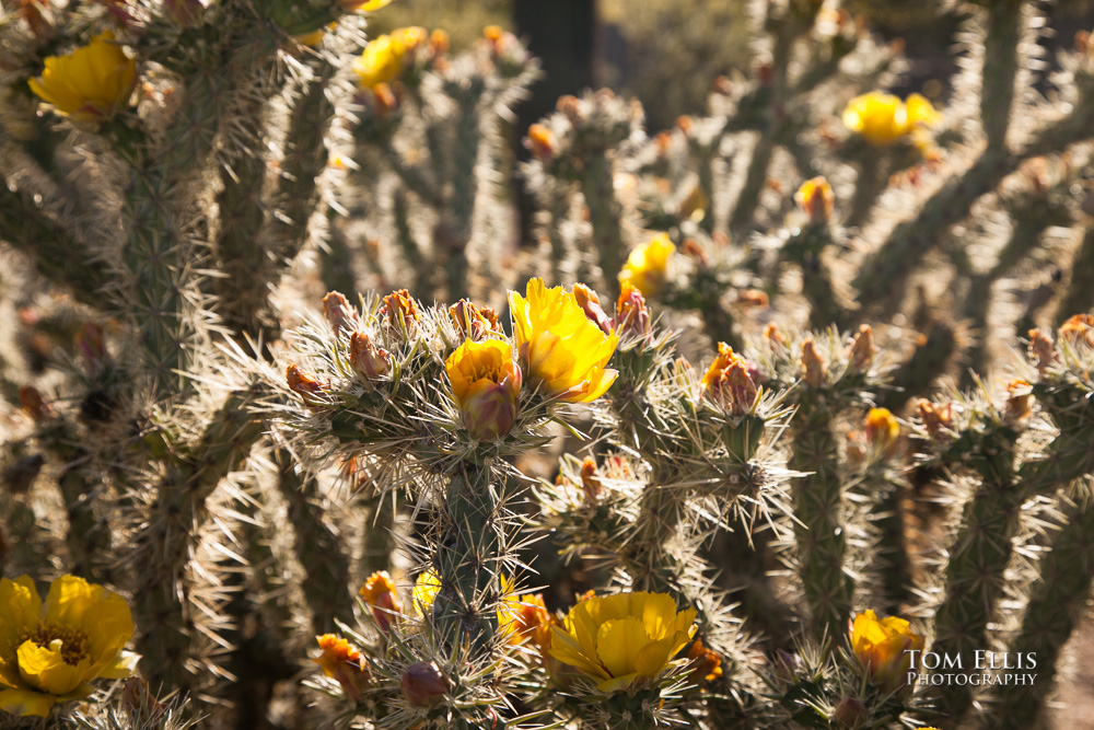 Cactus flowers blooming in Phoenix AZ
